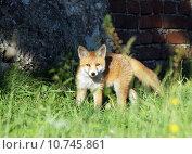 Купить «hunter fox rabies den of», фото № 10745861, снято 22 марта 2019 г. (c) PantherMedia / Фотобанк Лори