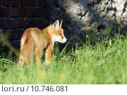 Купить «hunter fox rabies den of», фото № 10746081, снято 22 марта 2019 г. (c) PantherMedia / Фотобанк Лори
