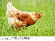 Купить «Brown chicken in grass», фото № 10747069, снято 20 мая 2019 г. (c) PantherMedia / Фотобанк Лори