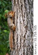 Купить «squirrel hanging on to tree», фото № 10759105, снято 22 июля 2018 г. (c) PantherMedia / Фотобанк Лори