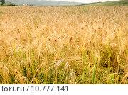 Купить «Golden Wheat Field», фото № 10777141, снято 19 октября 2018 г. (c) PantherMedia / Фотобанк Лори