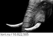 Купить «Artistic Black and White Elephant», фото № 10822505, снято 24 мая 2018 г. (c) PantherMedia / Фотобанк Лори