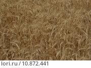 Купить «grain waves wheat cereal rye», фото № 10872441, снято 19 октября 2018 г. (c) PantherMedia / Фотобанк Лори