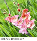 Купить «Rosy gladiolus blooming in the green field», фото № 10888597, снято 20 октября 2018 г. (c) PantherMedia / Фотобанк Лори