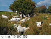 Купить «heath goats landschaftspflege nature blue», фото № 10897553, снято 21 апреля 2019 г. (c) PantherMedia / Фотобанк Лори