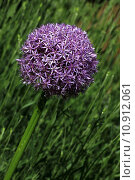 Купить «garden purple bowl gardens alliums», фото № 10912061, снято 24 мая 2019 г. (c) PantherMedia / Фотобанк Лори
