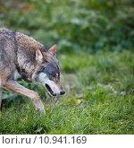 Купить «Gray/Eurasian wolf », фото № 10941169, снято 22 марта 2019 г. (c) PantherMedia / Фотобанк Лори