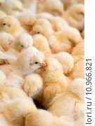 Купить «Bunch of chicks», фото № 10966821, снято 23 марта 2019 г. (c) PantherMedia / Фотобанк Лори