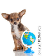 Купить «Funny puppy Chihuahua.  puppy with a  globe isolated», фото № 10968705, снято 7 декабря 2019 г. (c) PantherMedia / Фотобанк Лори