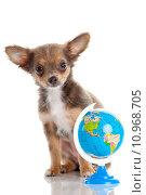 Купить «Funny puppy Chihuahua.  puppy with a  globe isolated», фото № 10968705, снято 21 февраля 2019 г. (c) PantherMedia / Фотобанк Лори