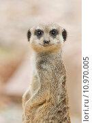 Купить «african zoo meerkats meerkat sababurg», фото № 10970005, снято 23 марта 2019 г. (c) PantherMedia / Фотобанк Лори