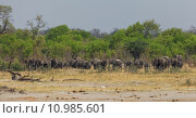 Купить «trunk safari ivory afrikanischer elefant», фото № 10985601, снято 16 июля 2019 г. (c) PantherMedia / Фотобанк Лори