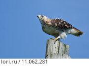 Купить «Red-Tailed Hawk Perched on a Pole», фото № 11062281, снято 16 сентября 2019 г. (c) PantherMedia / Фотобанк Лори