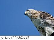 Купить «Close Up of a Red-Tailed Hawk», фото № 11062289, снято 15 октября 2019 г. (c) PantherMedia / Фотобанк Лори