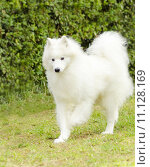 Купить «A young beautiful white fluffy Samoyed dog walking on the grass. The Sammy dog looks like a white wolf but it is very gentle, sweet and often called Smiley Sami», фото № 11128169, снято 22 марта 2019 г. (c) PantherMedia / Фотобанк Лори