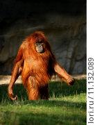 portrait green face monkey anthropoid. Стоковое фото, фотограф Heinrich Fuchs / PantherMedia / Фотобанк Лори