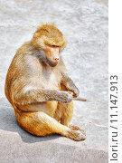 Купить «Павиан», фото № 11147913, снято 24 мая 2015 г. (c) Vitas / Фотобанк Лори