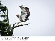 Купить «Red-Tailed Hawk Taking Off from Cedar Tree», фото № 11181481, снято 16 сентября 2019 г. (c) PantherMedia / Фотобанк Лори