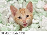 Купить «Angry kitten», фото № 11227741, снято 18 августа 2019 г. (c) PantherMedia / Фотобанк Лори