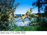 Купить «Распустившаяся плакучая ива у озера», фото № 11239753, снято 1 июня 2015 г. (c) Сергей Лысенко / Фотобанк Лори