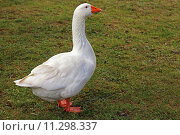 Купить «bright poultry goose pale snow», фото № 11298337, снято 20 июня 2019 г. (c) PantherMedia / Фотобанк Лори