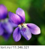 Купить «close up macro violet viola», фото № 11346321, снято 19 января 2019 г. (c) PantherMedia / Фотобанк Лори
