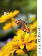 Купить «Tortoiseshell butterfly and bumble bees on sunflowers», фото № 11350745, снято 14 ноября 2018 г. (c) PantherMedia / Фотобанк Лори