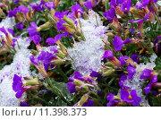Купить «spring snow blossoms snowcapped bleed», фото № 11398373, снято 21 июля 2018 г. (c) PantherMedia / Фотобанк Лори