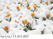 Купить «Цветы под снегом», фото № 11411897, снято 29 марта 2014 г. (c) Игорь Дашко / Фотобанк Лори