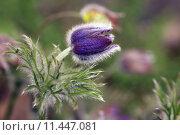 Купить «anemone vulgaris blauviolett hahnenfu gew», фото № 11447081, снято 20 апреля 2019 г. (c) PantherMedia / Фотобанк Лори
