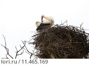 Купить «Stork sitting in the nest», фото № 11465169, снято 18 января 2019 г. (c) PantherMedia / Фотобанк Лори