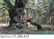 Купить «tree trunk oak eichenwald gerichtseiche», фото № 11466413, снято 22 мая 2019 г. (c) PantherMedia / Фотобанк Лори
