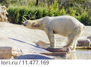 Купить «Polar bear», фото № 11477169, снято 22 марта 2019 г. (c) PantherMedia / Фотобанк Лори