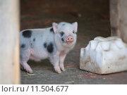 Купить «playful piggy piglet gesichtsportrait minipig», фото № 11504677, снято 25 мая 2019 г. (c) PantherMedia / Фотобанк Лори