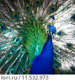 Купить «Splendid peacock with feathers out (Pavo cristatus) (shallow DOF; color toned image)», фото № 11532973, снято 5 апреля 2020 г. (c) PantherMedia / Фотобанк Лори