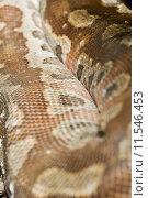 Купить «closeup detail snake boa blood», фото № 11546453, снято 21 сентября 2019 г. (c) PantherMedia / Фотобанк Лори