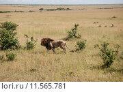 Купить «nature animal africa cat safari», фото № 11565781, снято 21 марта 2019 г. (c) PantherMedia / Фотобанк Лори