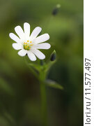 Купить «chickweed echte sternmiere gro bl», фото № 11577497, снято 25 мая 2019 г. (c) PantherMedia / Фотобанк Лори