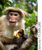 Asian monkey on the tree. Стоковое фото, фотограф Birgit Korber / PantherMedia / Фотобанк Лори