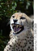 Купить «A shot of a African Cheetah in the wild», фото № 11599569, снято 22 октября 2018 г. (c) PantherMedia / Фотобанк Лори