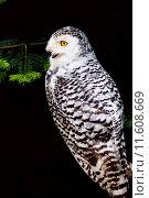 Купить «portrait wild owl raptor birds», фото № 11608669, снято 22 октября 2018 г. (c) PantherMedia / Фотобанк Лори