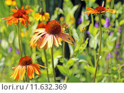 Купить «orange buzzer sun shade echinacea», фото № 11632369, снято 20 августа 2019 г. (c) PantherMedia / Фотобанк Лори
