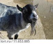 Купить «Pygmy Goat - Capra aegagrus», фото № 11653885, снято 27 марта 2019 г. (c) PantherMedia / Фотобанк Лори