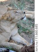 Купить «A shot of of an African Lion in the wild», фото № 11660685, снято 23 марта 2019 г. (c) PantherMedia / Фотобанк Лори