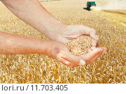 Купить «peasant hands hold seeds on wheat field», фото № 11703405, снято 23 января 2018 г. (c) PantherMedia / Фотобанк Лори