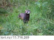 Купить «animal polecat wild green cute», фото № 11716269, снято 22 октября 2018 г. (c) PantherMedia / Фотобанк Лори