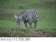 Купить «africa zebra wild animal green», фото № 11720385, снято 23 марта 2019 г. (c) PantherMedia / Фотобанк Лори