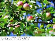 Купить «Спелые яблоки на ветках яблони», фото № 11737617, снято 5 апреля 2020 г. (c) Зезелина Марина / Фотобанк Лори