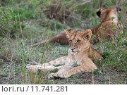 Купить «nature animal africa cat safari», фото № 11741281, снято 21 марта 2019 г. (c) PantherMedia / Фотобанк Лори