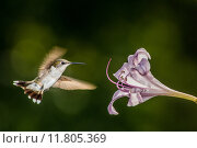 Купить «Hummingbird feeding from a wild lily outdoors.», фото № 11805369, снято 22 октября 2018 г. (c) PantherMedia / Фотобанк Лори